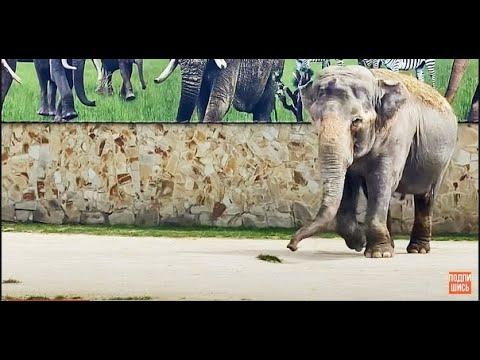 Слониха бежит на голос дрессировщика и делает ПЕРВЫЙ ОБХОД ВОЛЬЕРА!