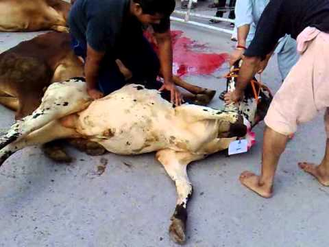 qurbani cow 2013 lahore.whn