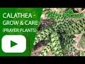 Calathea - grow & care (Prayer plants)