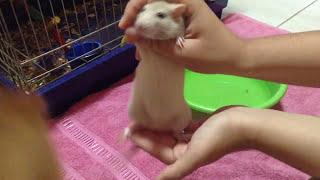 Como dar banho no seu rato Twister thumbnail