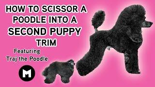 How to scissor a poodle into second puppy trim