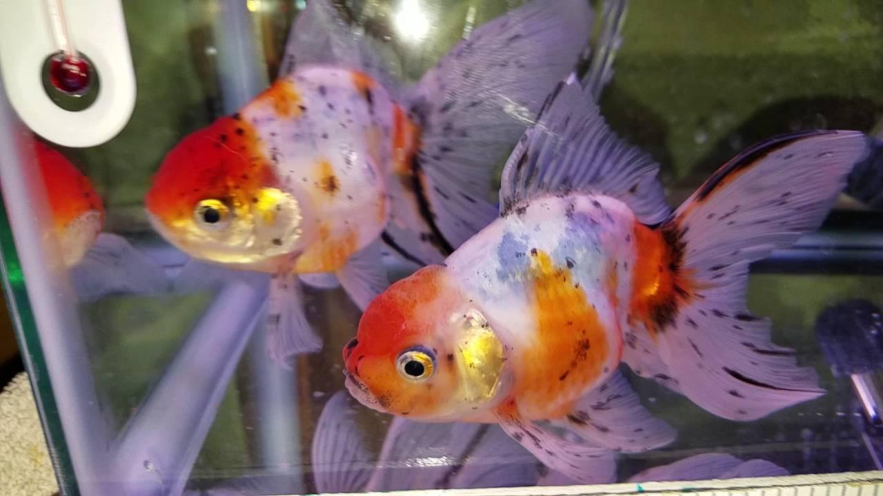 Fish aquarium in ecr - Ecr Thai Calico Orandas Just Came Home 10 12 16