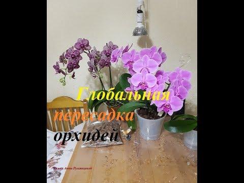 Орхидея Дикий кот#Осмотр корней спустя 1.4 года после реанимации. Глобальная пересадка орхидей