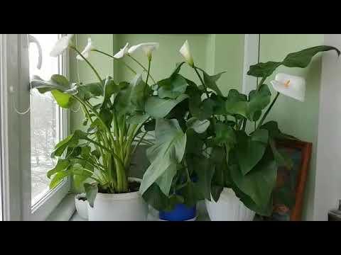 Вопрос: Почему не цветет калла?