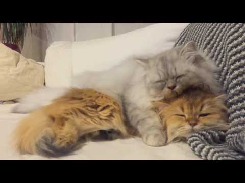 Fluffy Cats Groom Each Other - Smoothie & Milkshake