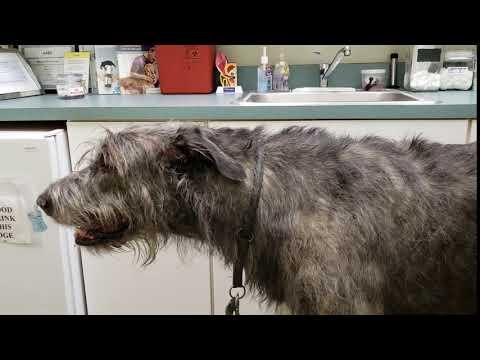 Pneumonia in an Irish Wolfhound