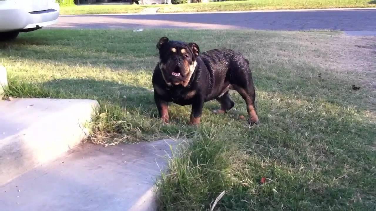 Rare Blacktan English Bulldog Youtube