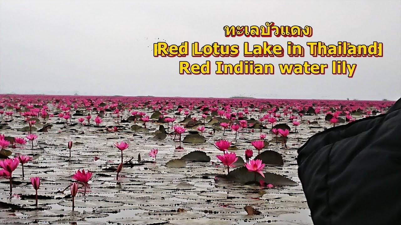 Red Lotus Lake,Nong Han,Udonthani,Thailand,ทะเลบัวแดง  ที่หนองหาน,อุดรธานี,นกเป็ดน้ำแดง