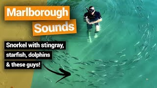 Video blog - Swimming With Stingrays in the Marlborough Sounds - Day 247