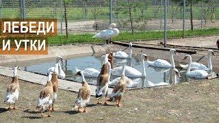 Содержание разных видов птиц в одном вольере: белые и чёрные лебеди, утки. Зооферма