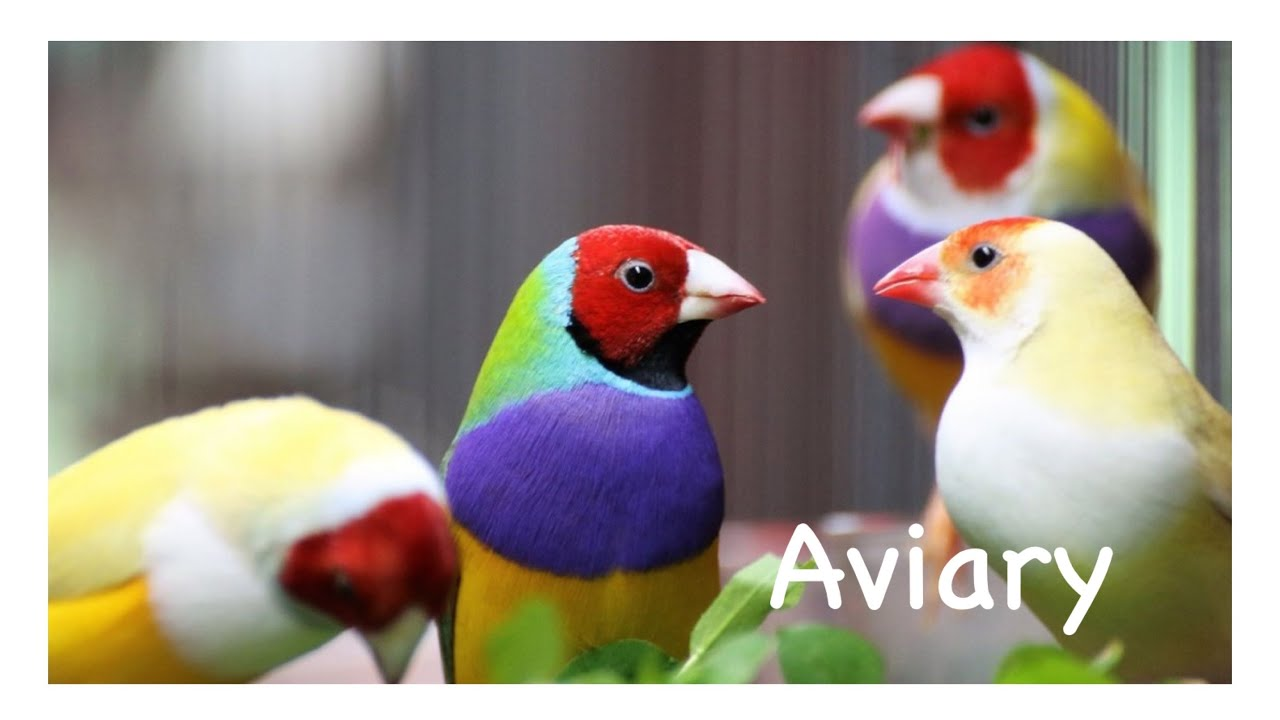 Thăm Lồng Aviary Nuôi Chim BẢY MÀU, NGŨ SẮC, MANH MANH, VẸT SUNCONURE Sinh Sản Tự Nhiên | Pet Family