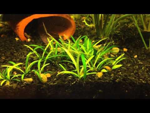 Эхинодорус четырехребристый Echinodorus quadricostatus