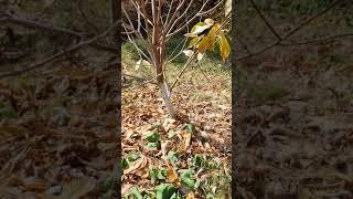 포포나무의 동해방지책