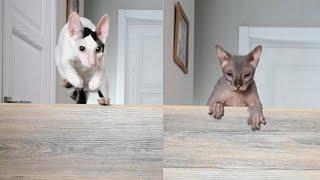 Cat challenge jumping. Cornish Rex cat vs Don Sphynx cat.