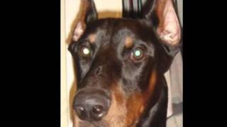 This Video Previously Contained A Copyrighted Audio Track. Due To A Claim By A Copyright Holder, The Audio Track Has Been Muted.     Doberman Pinscher Major