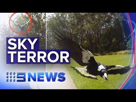 Warnings As Magpie Swooping Season Begins | Nine News Australia