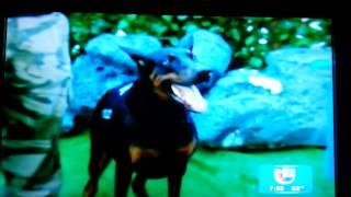South Florida K-9 Specialist 2014 Despierta America Univision 23 Television  Hyperactive K-9 .