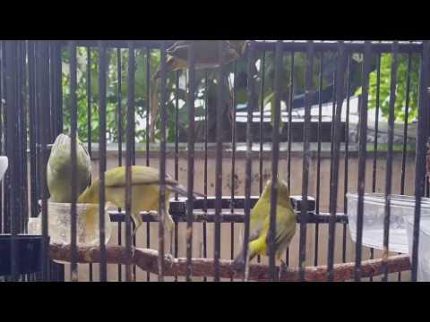 Suara Burung : Burung Pleci Betina Untuk Memancing Bunyi