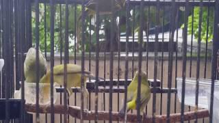 Suara Burung Burung Pleci Betina Untuk Memancing Bunyi