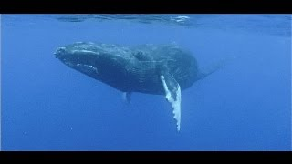 Agressive whale mating behaviour on film...