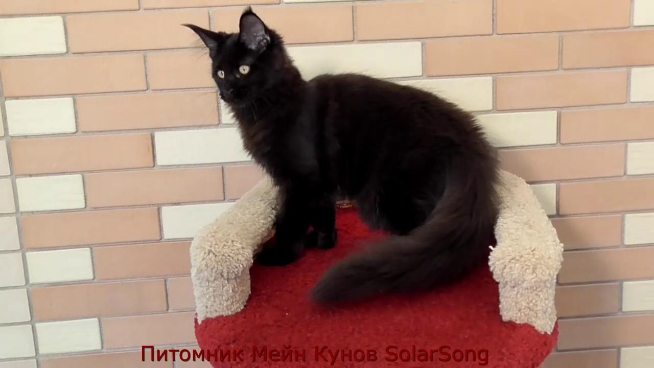 А чуть позже к нам приехал наш первый кот мейн кун, наш черный бриллиант. Москве и в г. Раменском. Они являются неотъемлемой частью племенной программы питомника, их хозяйки имеют большой опыт выращивания котят мэйн-кунов, постоянно консультируются со мной в процессе выращивания.
