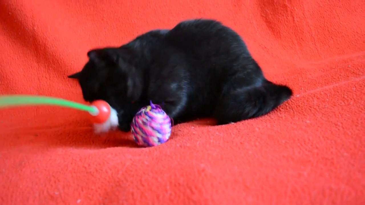 Купить черного шотландского котенка? Котята для Вас! Шотландская .