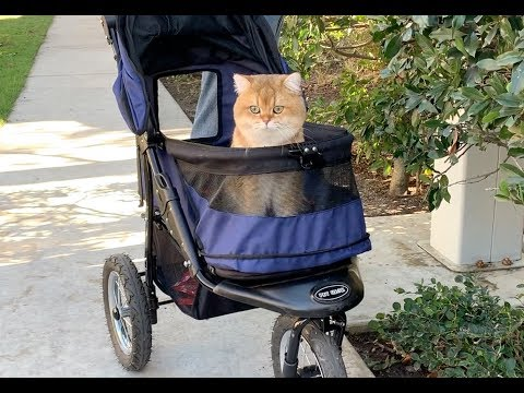 Maple Cat Enjoys his Stroller