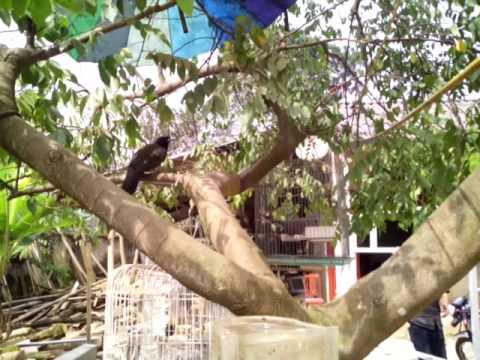 chim khiếu hót cực đỉnh