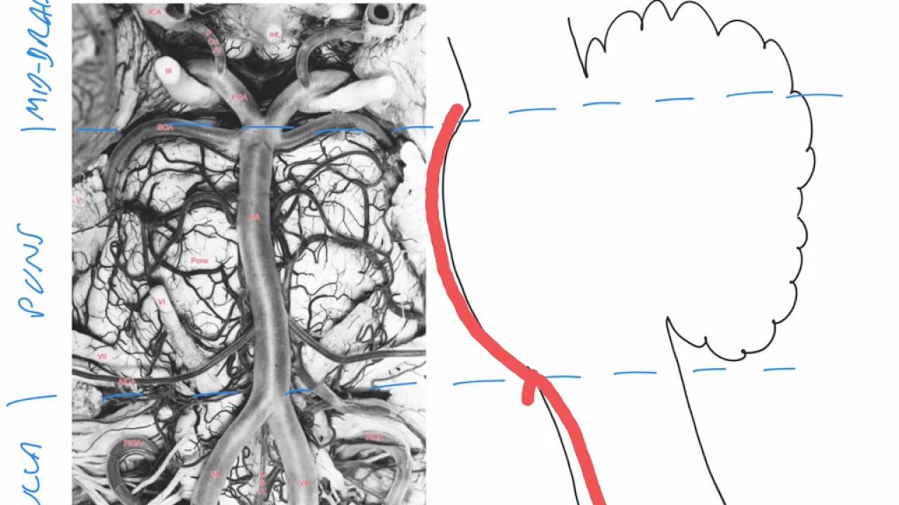 The vertebrobasilar system - YouTube