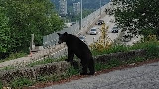 Bear back in the wild after Vancouver adventure