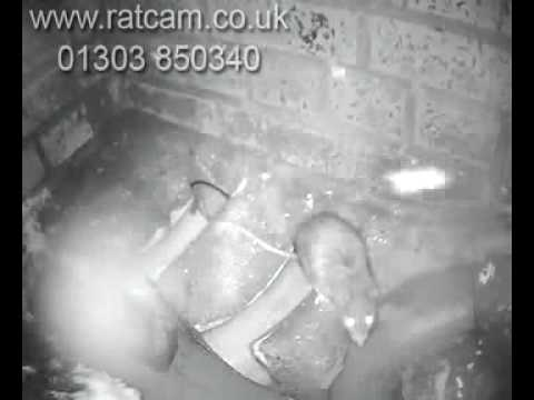 rats in drain entering house caught on camera