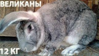 Кролиководство: самые лучшие породы кроликов и кролики великаны.(Видео содержит детальный материал по теме лучшие породы кроликов для разведения в домашних условиях, а..., 2015-10-11T09:15:17.000Z)