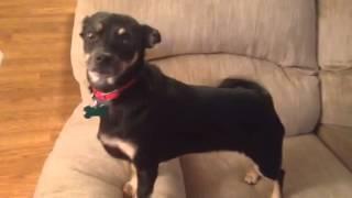 Pippy- Miniature Pinscher/ Chihuahua Mix