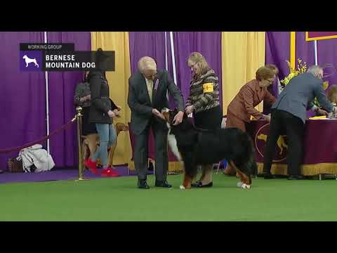 Westminster 2019 Bernese mountain dog group judging