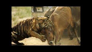 虎 最高 の 攻撃 -- トップ 10 HD 虎 最高 の 攻撃 -- トップ 10 HD チ...