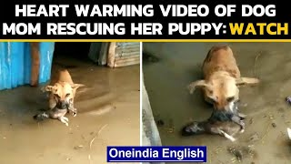 Karnataka: Female dog shifts her puppy to a safer location in flood affected area|Oneindia News