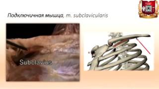 видео Мышцы и фасции груди