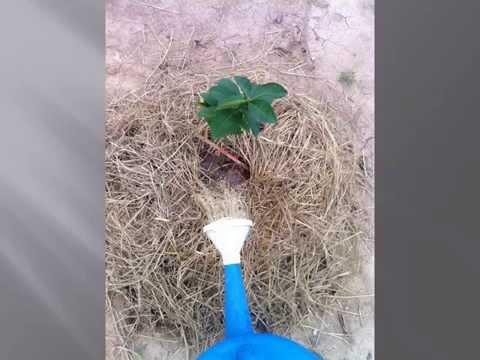 วิธีการปลูกมะนาวแป้นพิจิตร1แบบลงดิน