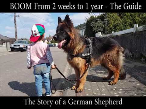 Weight and Height of German Shepherd from 0 day to 1 year - Boom Long haired