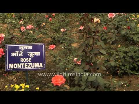 Montezuma Rose Flowers in bloom at Mughal Gardens of President's Estate