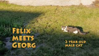 Maine Coon Felix met another male cat. See what's happened.
