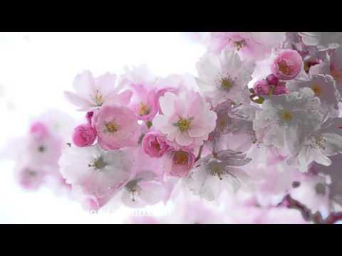 Kyoto Garden Cherry Blossom: 3 HOURS Oriental Zen Music