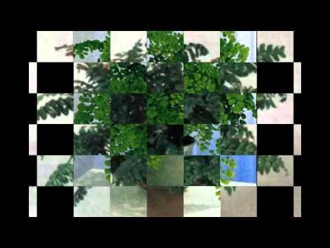 венерин волос комнатные растения
