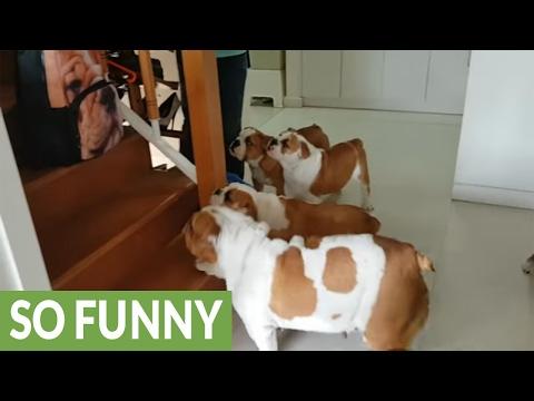 Bulldogs react to bulldog-printed backpack