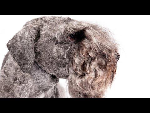 Terrier Checo  - Raza de Perro
