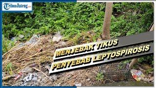 Antisipasi Penyakit Leptospirosis - NET12.