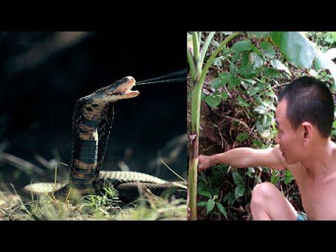 Chuyện lạ có thật - Sự trả thù khủng khiếp của rắn độc khổng lồ ở An Giang