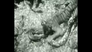 tiger vs python in margosatubig video by jasper reales