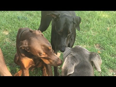 A Rare Solid Black Doberman Shows Up at the Dog Park
