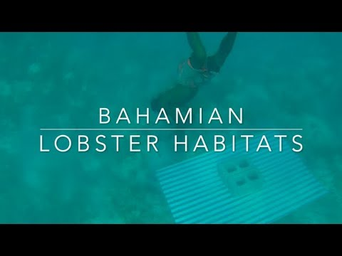 Lobster Habitats & Condos Of The Bahamas
